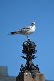 Crown Sea Gull Royalty Free Stock Photography