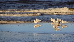 Crown Of Seagull Stand On Seaside. Happiness Freedom And Easy Way Of Living. Wildlife life freedom and happiness of seagull nature living on baltic seaside stock photo