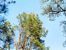 Crown of sequoia tree in autumn Royalty Free Stock Photo