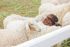 Crown Sheeps. Royalty Free Stock Photography