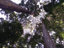 Crown Shyness Royalty Free Stock Photography