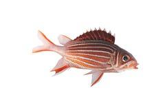 Crown squirrelfish isolate. Crown squirrelfish (sargocentron diadema) isolate on a white royalty free stock photos