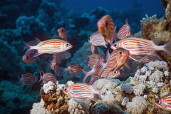 Crown squirrelfish (sargocentron diadema) Royalty Free Stock Photos