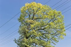 Crown of sunny tree with electric cable over sky Royalty Free Stock Image