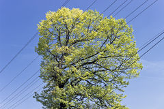 Crown of sunny tree with electric cable Stock Photos