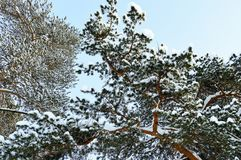 Crown of tall pine covered with snow in a coniferous forest stock photos