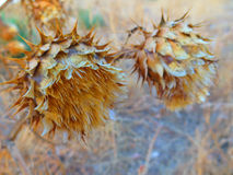 Crown Thistle Stock Image
