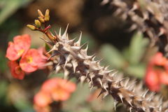 Crown-of-Thorns Royalty Free Stock Images