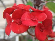 Red Crown of Thorns Flowers. Also known as Christ Thorn. These are grown in warm climates as a garden shrub. Scientific name: Euphorbia Milli Royalty Free Stock Images