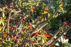 Crown of Thorns Cactus Stock Images