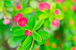 Crown of thorns, Christ Thorn, Euphorbia milli Desmoul. Red spring flower in the garden so beautiful Stock Photography