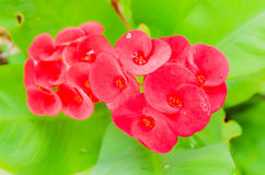 Crown of thorns, Christ Thorn, Euphorbia milli Desmoul. Red spring flower in the garden so beautiful Stock Images