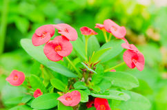 Crown of thorns, Christ Thorn, Euphorbia milli Desmoul. Red spring flower in the garden so beautiful Royalty Free Stock Photo