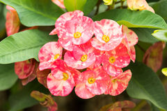 Crown of thorns, Christ Thorn. Crown of thorns flowers , Euphorbia milli Desmoul Stock Photo