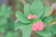 Crown of thorns, Christ Thorn , poi - sian flowers Stock Photos