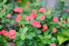 Crown of thorns, Christ Thorn , poi - sian flowers Stock Image