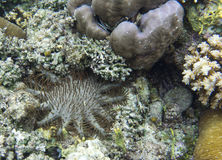 Crown of thorns. Starfish in Indonesia Royalty Free Stock Photography