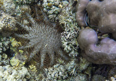 Crown of thorns. Starfish in Indonesia Royalty Free Stock Image