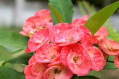Close up pink flower and green leaves. Crown of Thorns, Euphorbia, Euphorbia Milli, Pink flower Stock Photography
