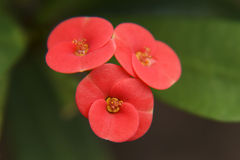 Crown of thorns (Euphorbia milii) Royalty Free Stock Images