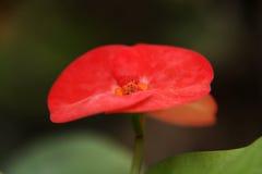 Crown of thorns (Euphorbia milii) Stock Photos