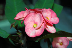Crown of Thorns flower Royalty Free Stock Image