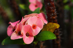 Crown of Thorns flower. (Euphorbia milii, Christ plant, Christ thorn) is pink flower with densely spiny stems Stock Photography
