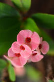 Crown of Thorns flower. (Euphorbia milii, Christ plant, Christ thorn) is pink flower with densely spiny stems Stock Photos
