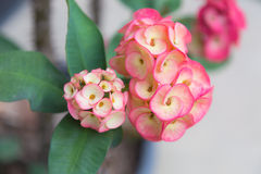 Crown of thorns flower. S , Euphorbia milli Desmou Royalty Free Stock Image