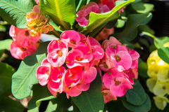Crown of Thorns flower Royalty Free Stock Photos