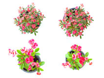 Crown of thorns flower Royalty Free Stock Photography