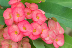 Crown of thorns flower. In Thailand royalty free stock photo