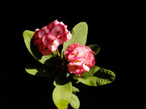 Crown of Thorns Flower. Which blooms around easter Stock Image
