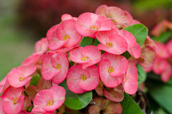 Crown of thorns flowers Stock Photography