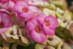 Crown of thorns flowers Stock Photo