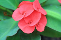 Crown of thorns flowers [Euphorbia milii Desmoul] Royalty Free Stock Images