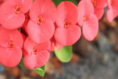 Crown of thorns flowers [Euphorbia milii Desmoul] Stock Photo