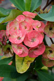 Crown of thorns flowers. Euphorbia milli Desmoul Stock Images