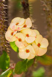 Crown of thorns flowers(Euphorbia milli Desmoul) Stock Images