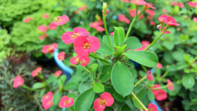 Crown of thorns flowers Stock Photos