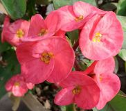 Crown of Thorns. Its a reddish flower which grown on a plant having tons of thorns. Scientific name: Euphorbia Milli. Native to Madagascar. Also found in asian Royalty Free Stock Photography