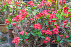 Crown of thorns, Poi sian flowers , Euphorbia mil Royalty Free Stock Photos