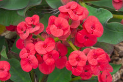 Crown of thorns red flowers Stock Image