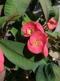 Crown of Thorns. A reddish flower grown on a plant having tons of thorns on the stem. Scientific name: Euphorbia Milli. Native to Madagascar. Also found in asian Royalty Free Stock Image