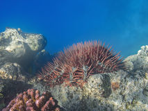 Crown of thorns sea star (Acanthaster planci) feeding coral reef. In the tropical sea Stock Image