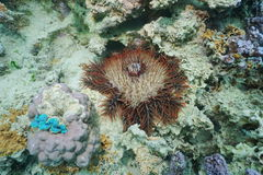 Crown-of-thorns sea star Acanthaster planci Stock Image
