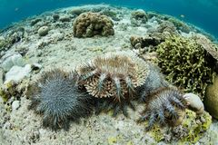 Crown of Thorns Sea Stars Feeding on Corals. Crown of Thorns sea stars, Acanthaster planci, feed on living corals in Wakatobi National Park, Indonesia. This area Royalty Free Stock Images
