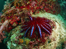 Crown-of-thorns seastar. A Crown-of-thorns seastar (Acanthaster planci) clings to a rocky reef Stock Image
