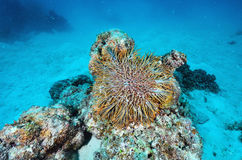 A Crown-of-Thorns seastar Stock Photo