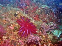 Crown of Thorns Starfish Royalty Free Stock Photo